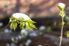 La neve sulle foglie Immagine Stock Libera da Diritti