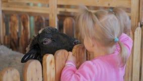 La niña alimenta verduras de la cabra y de las ovejas en un parque zoológico o una granja del contacto almacen de metraje de vídeo