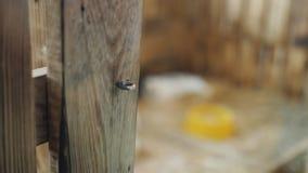 La niña desbloquea el cierre y abre la puerta de madera en el zoo-granja y va a contener a los conejos almacen de metraje de vídeo
