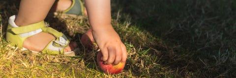 La niña linda coge la manzana en jardín y los puso a la cesta Imagen de archivo libre de regalías