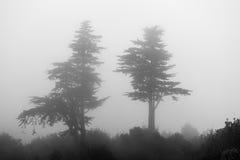 La niebla y la niebla envuelven dos árboles de pino Fotografía de archivo libre de regalías