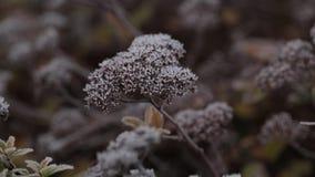La nieve blanca de las hojas congeladas del rojo miente en las ramas de los tops de un árbol de pino y se come en un día soleado metrajes