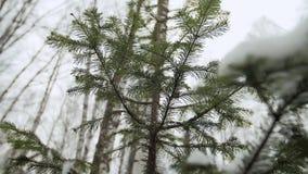 La nieve cae de las ramas de árbol almacen de metraje de vídeo
