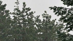 La nieve cae en el bosque de pino de montaña almacen de video