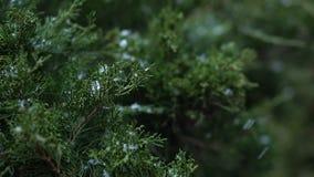 La nieve cae en las ramas verdes del Thuja almacen de metraje de vídeo