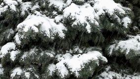 La nieve cae en ramas de la picea azul almacen de metraje de vídeo
