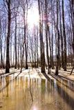 La nieve de fusión hielan y la luz del sol del tronco de árbol de abedul Imagenes de archivo