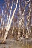 La nieve del bosque del árbol de abedul del fondo descongela el resorte Fotos de archivo
