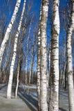La nieve del bosque del árbol de abedul del fondo descongela el resorte Imagen de archivo