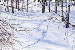La nieve deriva con una trayectoria pisada, resumida después de nevada en un bosque natural del abedul con las sombras grandes de Imagenes de archivo