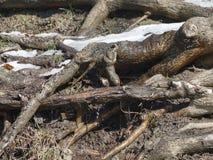 La nieve derrite en las raíces del árbol Foto de archivo