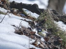 La nieve derrite en las raíces del árbol Fotografía de archivo