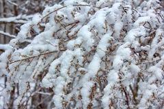 La nieve es agradable en los latigazos Barbarum imágenes de archivo libres de regalías