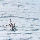 La nieve es hierba seca. Imagen de archivo