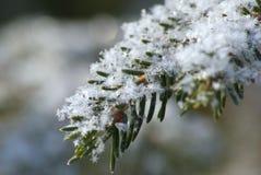 La nieve forma escamas en rama del pino Fotos de archivo
