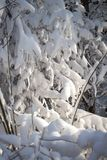 La nieve miente en las ramas de árboles después de una ventisca en luz del sol foto de archivo