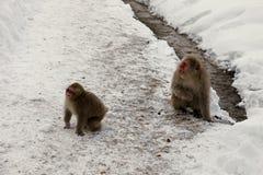 La nieve monkeys, macaque que se baña en las aguas termales, prefectura de Nagano, Japón Imagenes de archivo