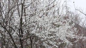 La nieve que cae en el fondo de los árboles frutales de florecimiento almacen de metraje de vídeo