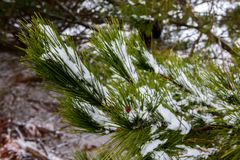 La nieve recogió en las agujas del pino de un árbol en el nuevo sur de Oberon Foto de archivo