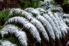La nieve recogió en las hojas de un árbol del helecho en la pared de Hassans en L Imagenes de archivo