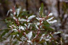 La nieve recogió en las hojas de un árbol de goma de eucalipto en Hassans Imagen de archivo