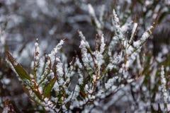 La nieve recogió en las hojas de un árbol de goma de eucalipto en Hassans fotografía de archivo