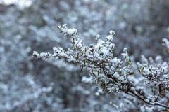 La nieve recogió en las hojas de un arbusto en la pared de Hassans en Lithgo Fotos de archivo
