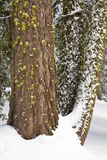 La nieve y el musgo cubrieron troncos de la secoya Imágenes de archivo libres de regalías