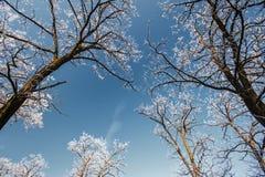 La nieve y la helada cubrieron los árboles de langosta, perfilados en el cielo brillante en invierno Foto de archivo libre de regalías