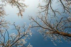 La nieve y la helada cubrieron los árboles de langosta, perfilados en el cielo brillante en invierno Fotografía de archivo libre de regalías