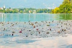 La ninfea con i fiori bianchi e rosa su un lago ha sanguinato in alpi slovene Immagini Stock Libere da Diritti