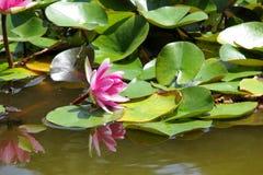 La ninfea rosa fiorisce nello stagno un giorno di estate Fotografia Stock Libera da Diritti