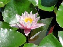 La ninfea rosa fiorisce nello stagno un giorno di estate Immagini Stock Libere da Diritti