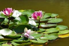 La ninfea rosa fiorisce nello stagno un giorno di estate Immagine Stock Libera da Diritti