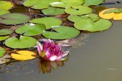 La ninfea rosa fiorisce nello stagno un giorno di estate Fotografie Stock