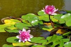 La ninfea rosa fiorisce nello stagno un giorno di estate Fotografie Stock Libere da Diritti