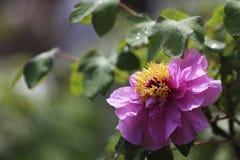 La nobleza y la riqueza morales de la peonía, es la flor nacional de China Imagen de archivo