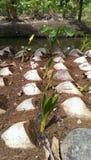 La noce di cocco delle piante lascia al raccolto il verde al suolo Fotografia Stock