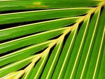 La noce di cocco lascia il fondo Fotografia Stock