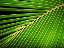 La noce di cocco lascia il fondo Immagine Stock