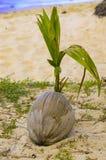 La noce di cocco sta germogliando su alla spiaggia Fotografie Stock
