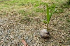 La noce di cocco sta sviluppandosi sulla terra fotografie stock