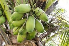 La noix de coco crue Photographie stock libre de droits