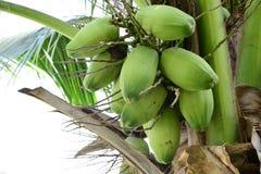 La noix de coco crue Photos stock