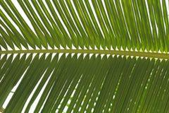 La noix de coco laisse beau Photo stock