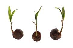 La noix de coco sèche et ont des jeunes plantes se développent pour la propagation Photos stock