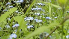 La nomeolvides florece con las hojas verdes en parque de la ciudad Hierba fresca salvaje floreciente Wildflower del Myosotis metrajes