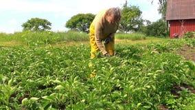 La nonna esamina il ramo del raccolto della patata nel giardino del paese video d archivio
