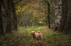 La Norfolk Terrier Fotografia Stock