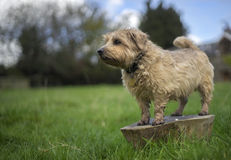 La Norfolk Terrier Image libre de droits